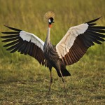 African Crowned Crane Wallpaper