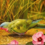 African Lovebird On The Ground Wallpaper