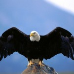 Bald Eagle Wing Spread Wallpaper
