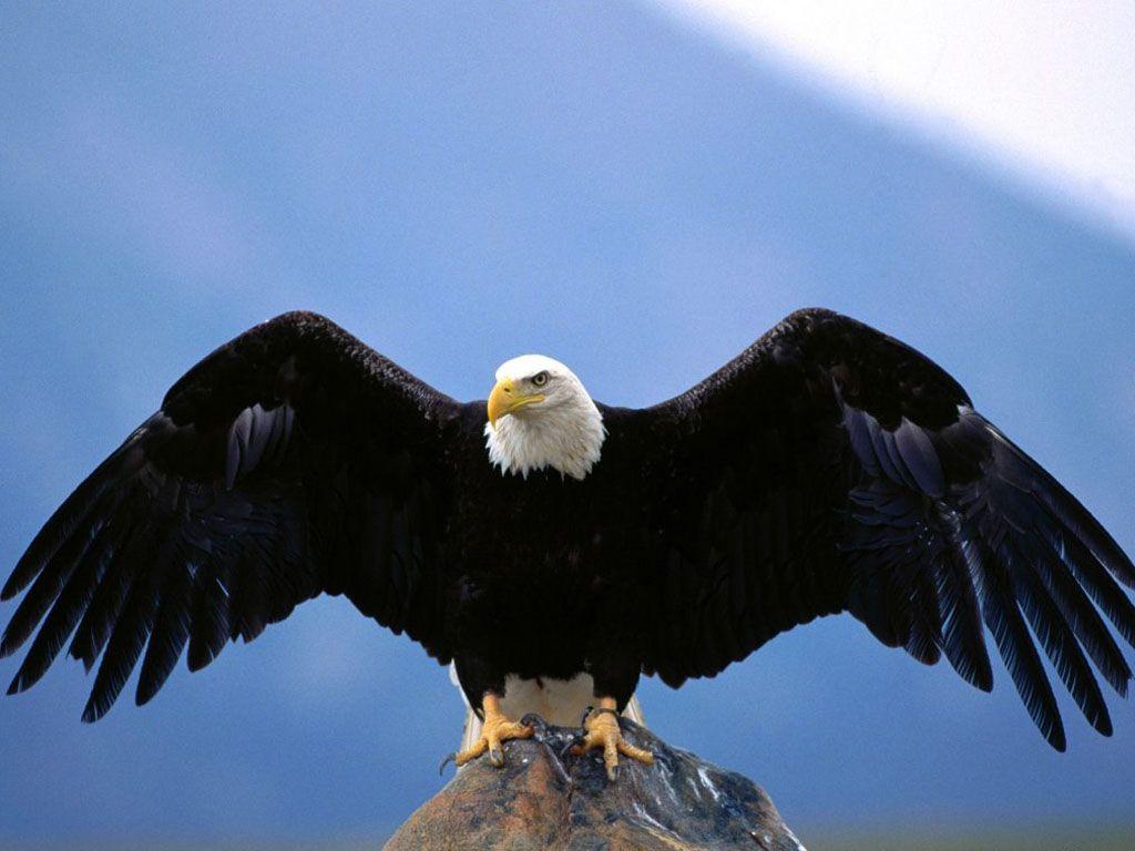 Bald Eagle Wing Spread Wallpaper 1024x768