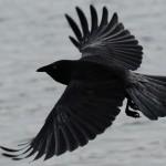 Black Crow In Flight Wallpaper