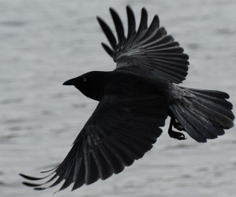 Black Crow In Flight Wallpaper