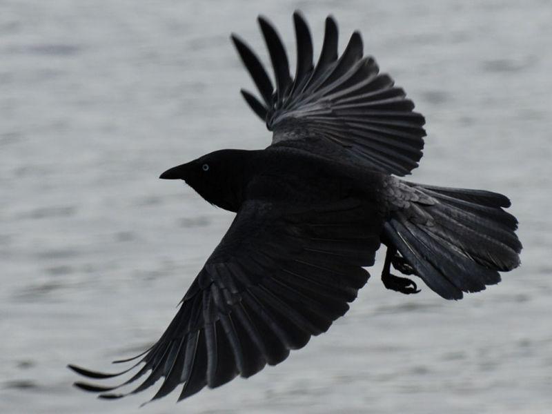 Black Crow In Flight Wallpaper 800x600