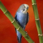 Blue African Lovebird On Bamboo Wallpaper