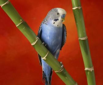 Blue African Lovebird On Bamboo Wallpaper