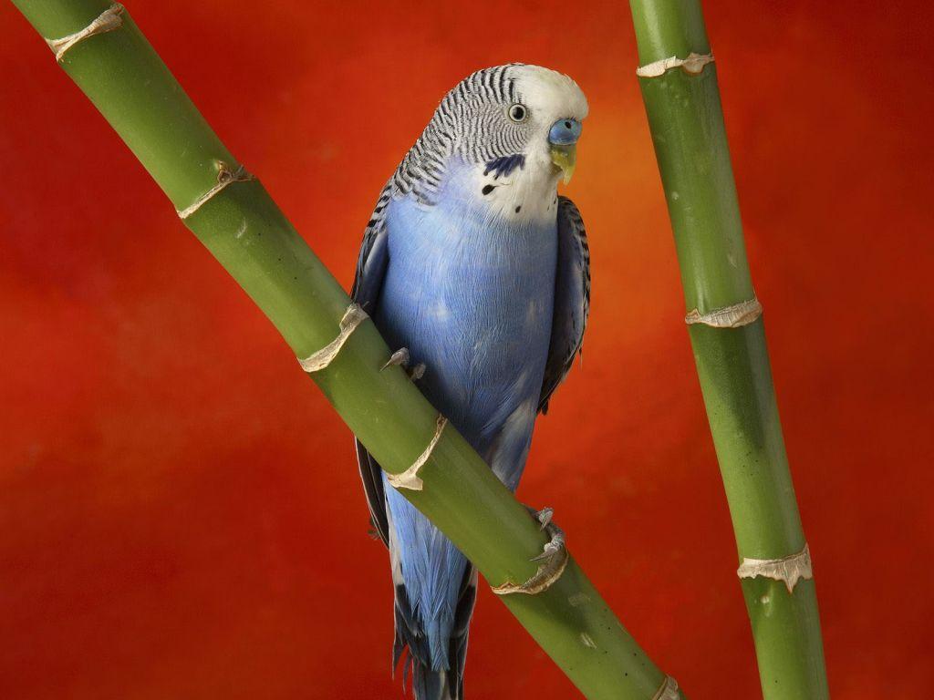 Blue African Lovebird On Bamboo Wallpaper 1024x768