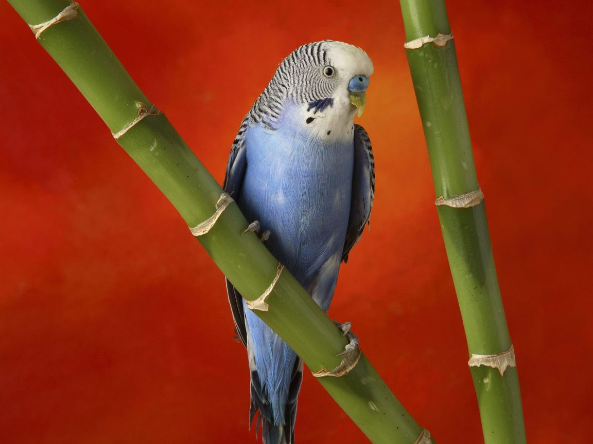 Blue African Lovebird On Bamboo Wallpaper 1152x864