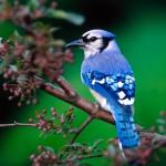 Blue Bird On Tree Branch Wallpaper