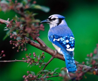 Blue Bird On Tree Branch Wallpaper