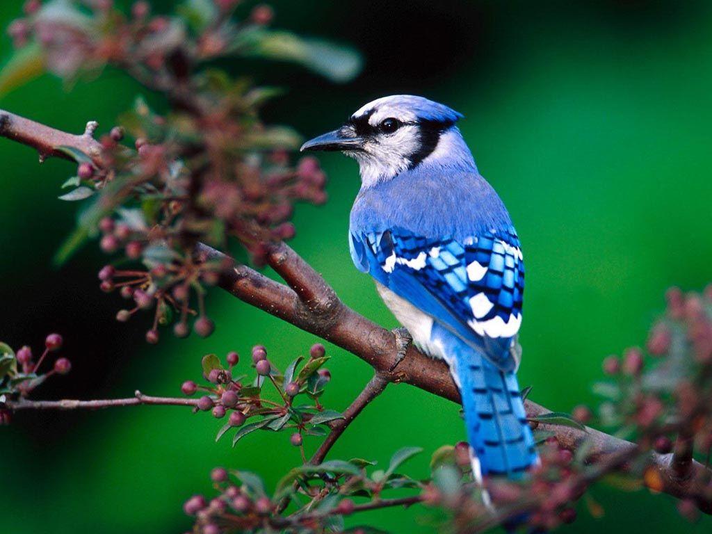 Blue Bird On Tree Branch Wallpaper 1024x768