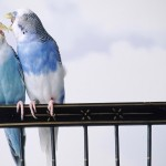 Blue Lovebirds Playing Wallpaper