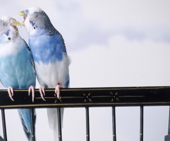 Blue Lovebirds Playing Wallpaper