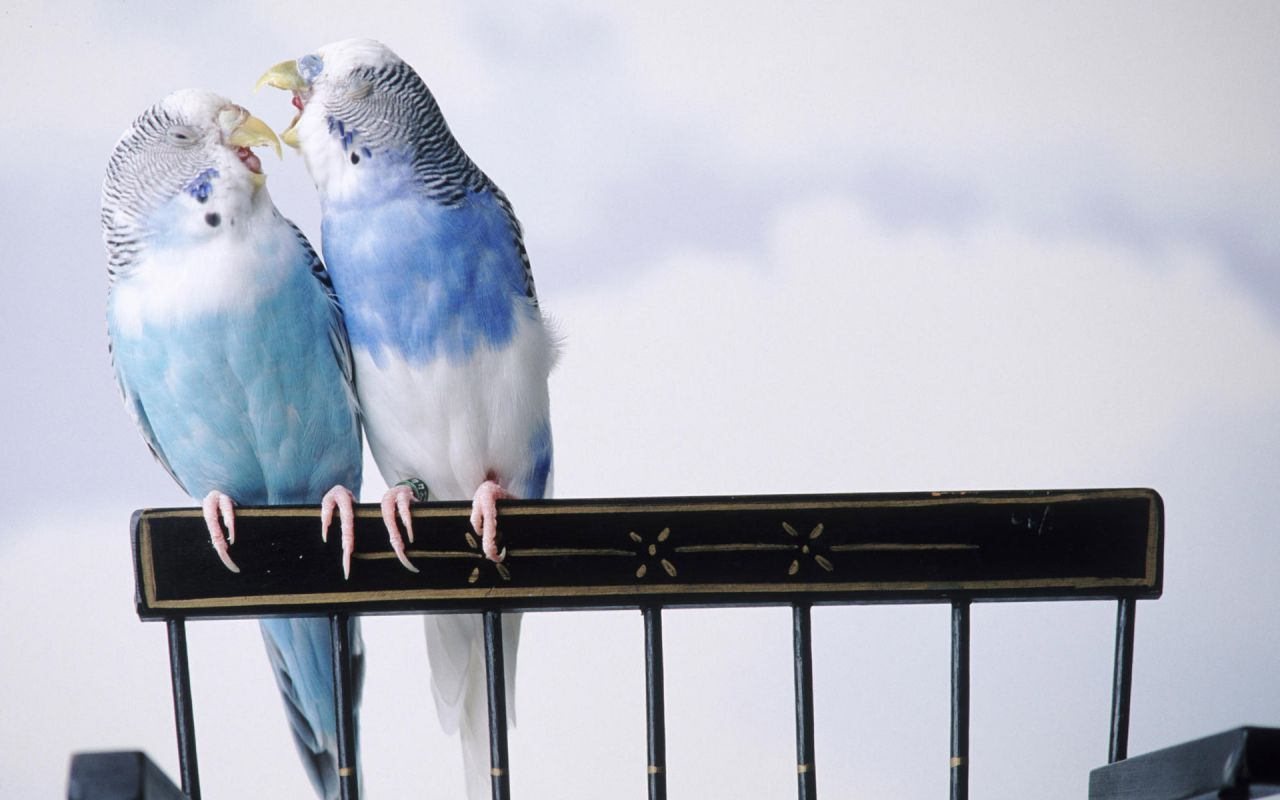 Blue Lovebirds Playing Wallpaper 1280x800