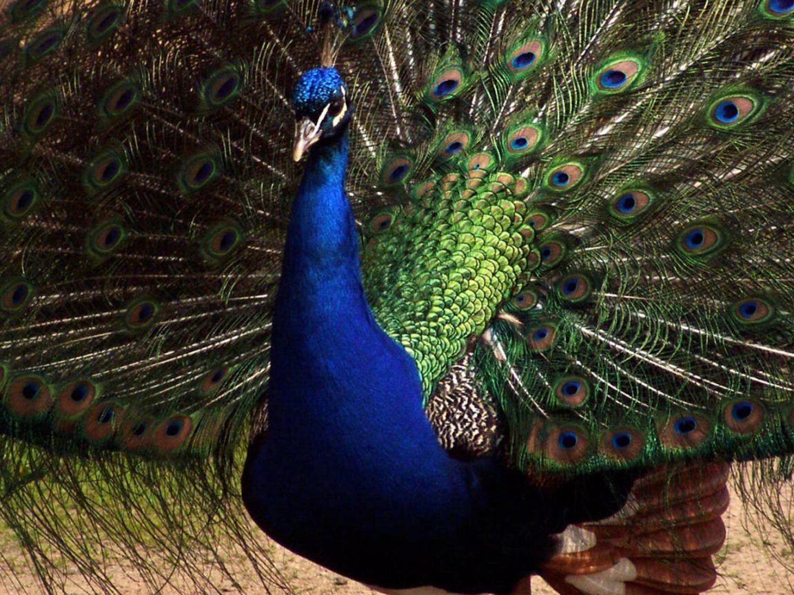 Blue Peacock Tail Spread Open Wallpaper 1152x864