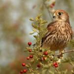 Brown Bird Red Berries Wallpaper