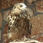 Brown Owl On Rock Wallpaper