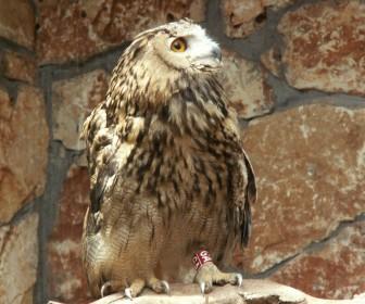 Brown Owl On Rock Wallpaper