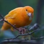 Canary Bird With Leaf In Beak Wallpaper