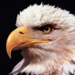 Eagle Close Up Portrait Wallpaper