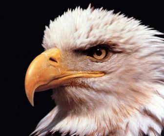 Eagle Close Up Portrait Wallpaper