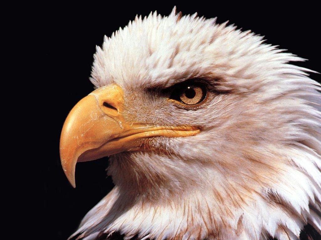 Eagle Close Up Portrait Wallpaper 1024x768