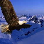 Eagle Flying Over Snow Mountains Wallpaper