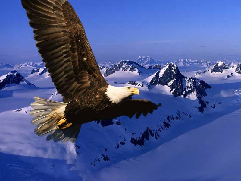 Eagle Flying Over Snow Mountains Wallpaper 800x600