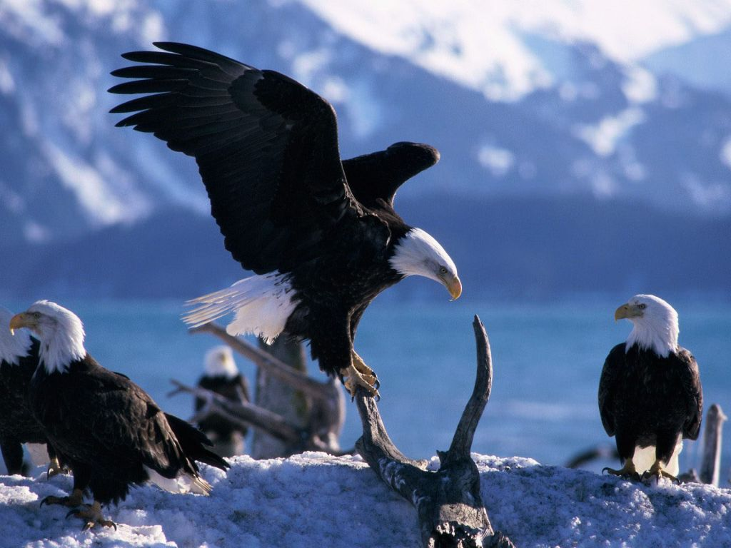 Eagles On Branch Winter Wallpaper 1024x768