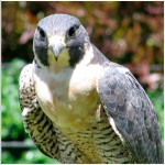 Falcon Close Up Portrait Wallpaper