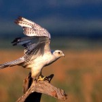 Falcon Stretching On Tree Wallpaper
