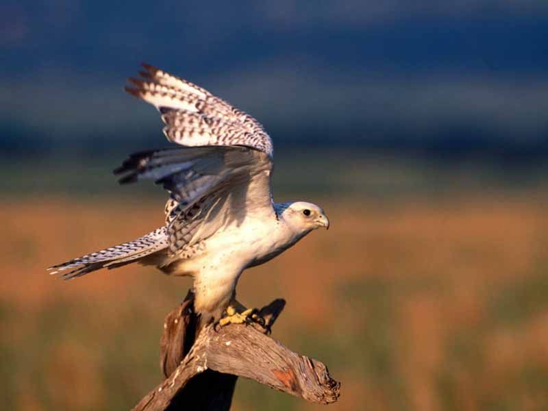 Falcon Stretching On Tree Wallpaper 800x600