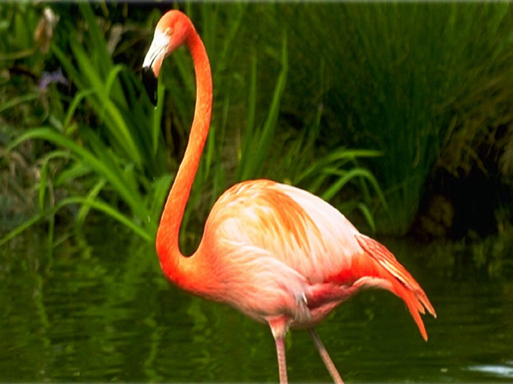 Flamingo Solo Side View Portrait Wallpaper 1024x768