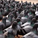 Flock Of Pigeons Wallpaper