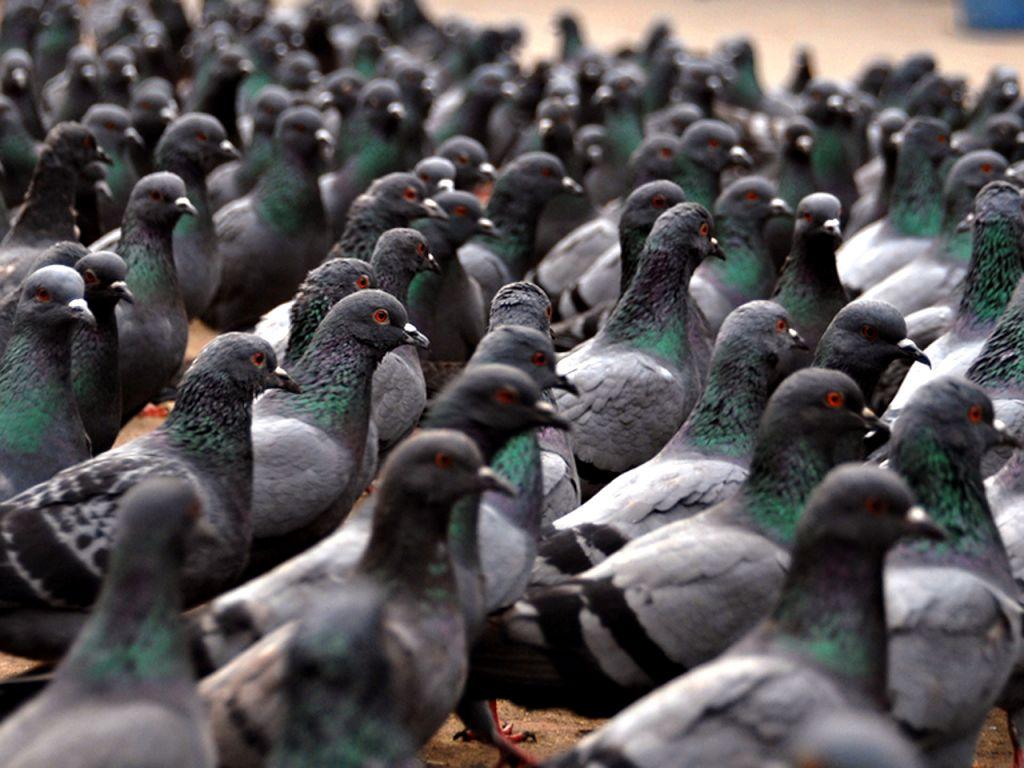 Flock Of Pigeons Wallpaper 1024x768