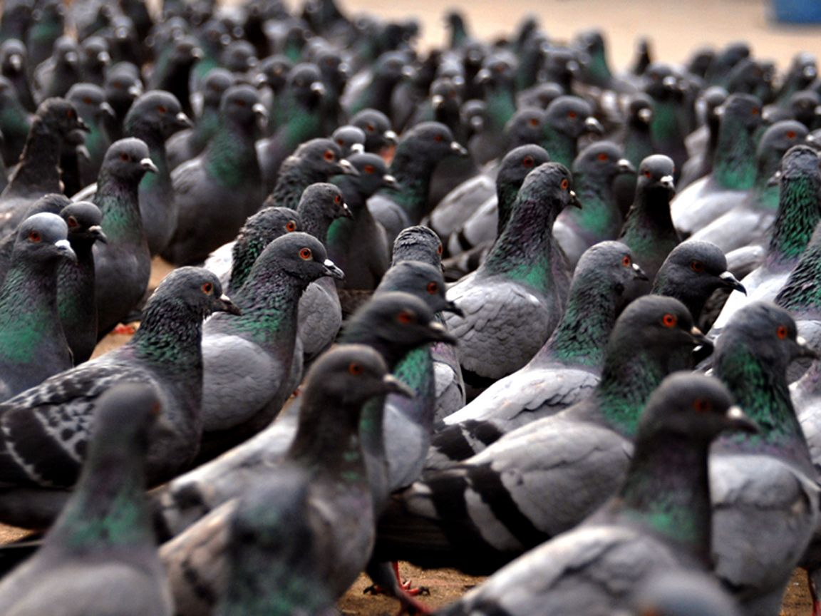 Flock Of Pigeons Wallpaper 1152x864