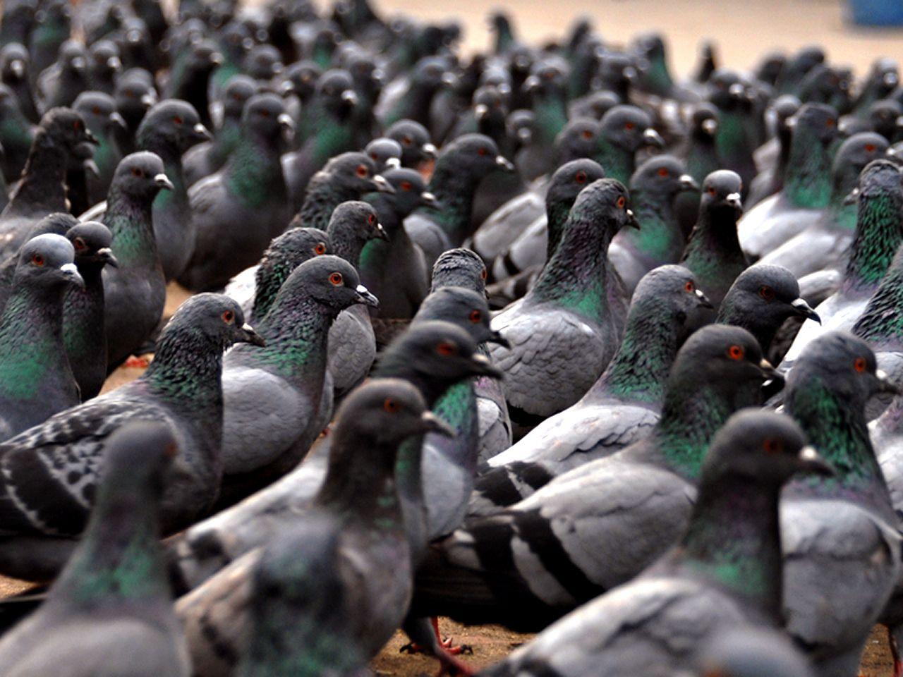 Flock Of Pigeons Wallpaper 1280x960