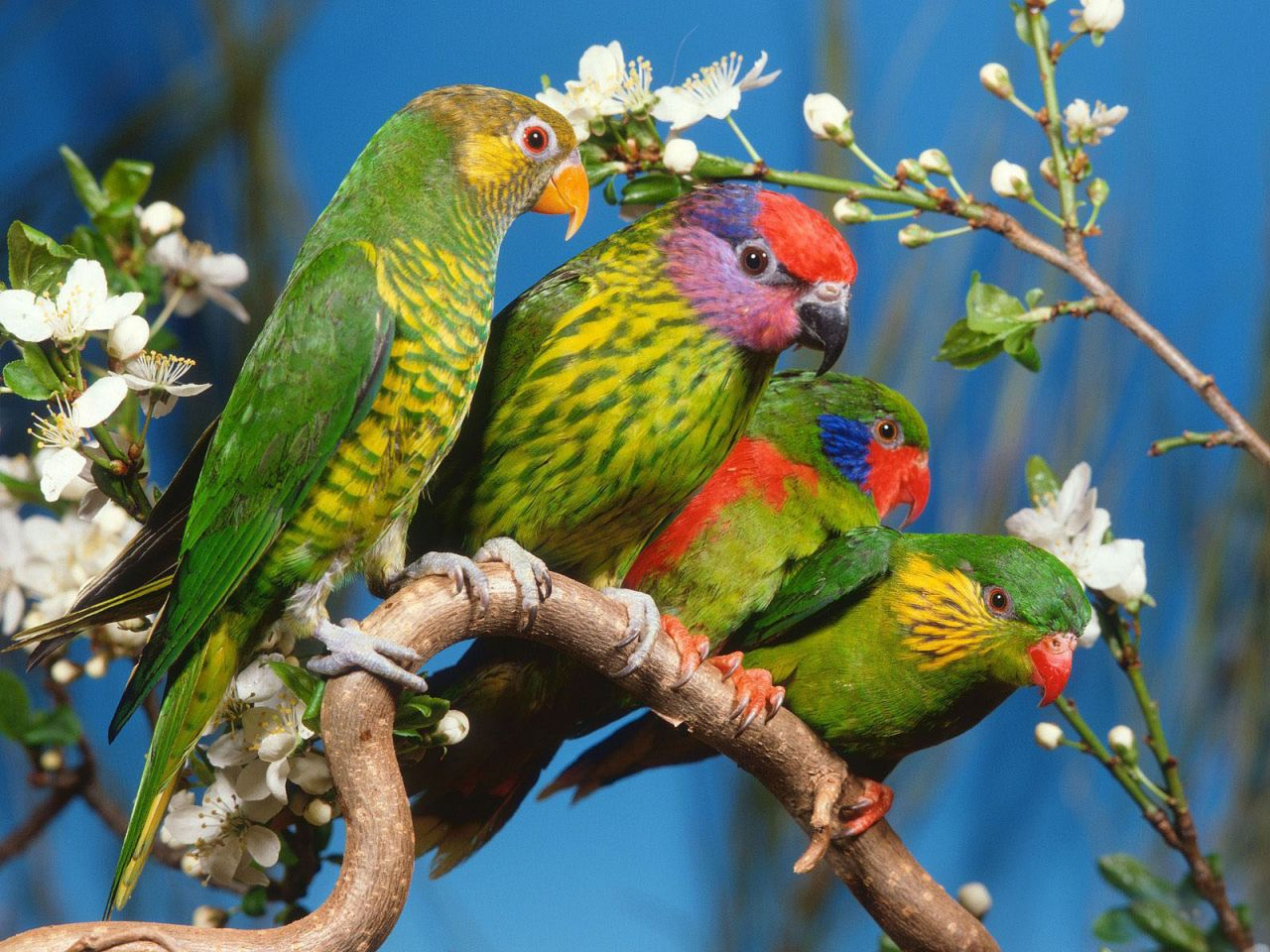 Four Colorful Birds On A Branch Wallpaper 1280x960