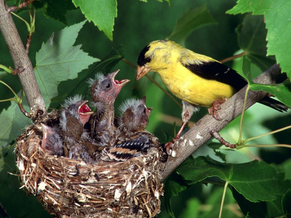 Gold Finch Feeding Young Wallpaper 1024x768