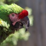 Green Macaw Face Close Up Wallpaper