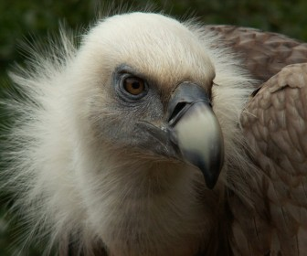 Griffon Vulture Head Close Up Wallpaper