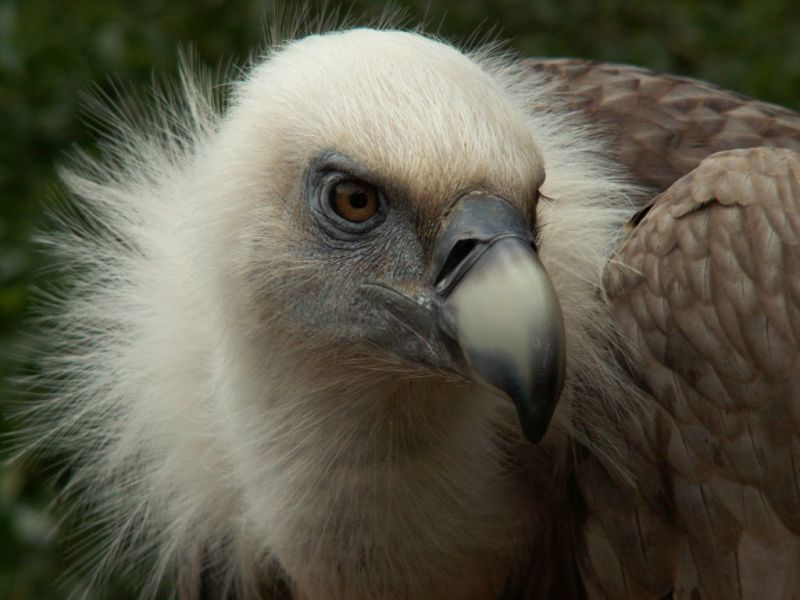 Griffon Vulture Head Close Up Wallpaper 800x600