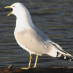 Gull Side View Portrait Wallpaper