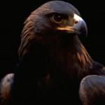 Hawk Close Up Portrait Wallpaper