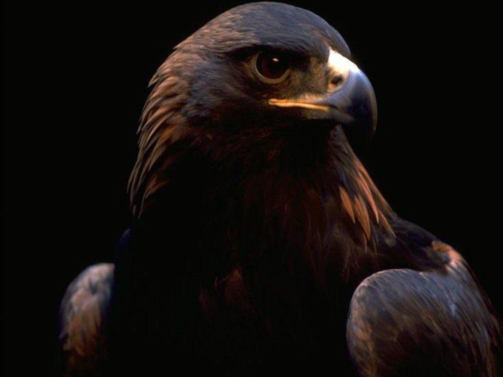 Hawk Close Up Portrait Wallpaper 1024x768
