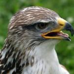 Hawk Face Close Up Wallpaper
