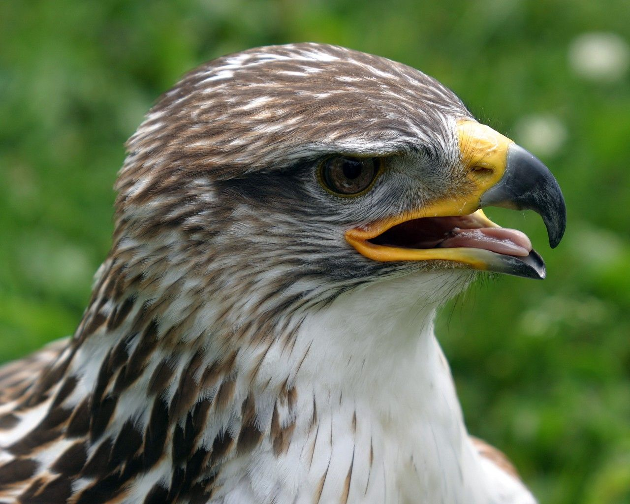 Hawk Face Close Up Wallpaper 1280x1024