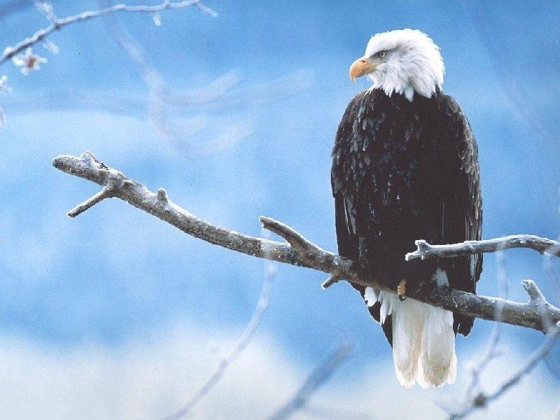 Hawk Sitting On Branch Wallpaper 800x600