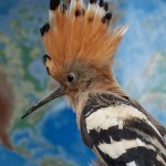 Hoopoe Close Up Wallpaper