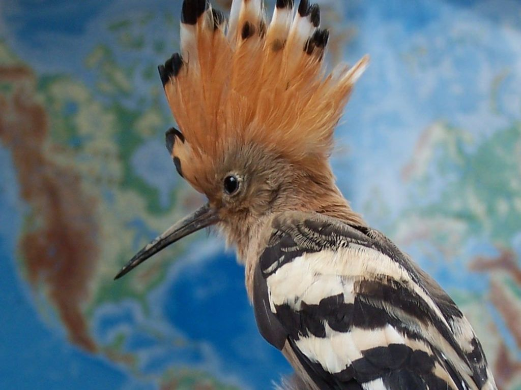 Hoopoe Close Up Wallpaper 1024x768