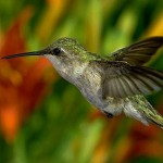 Humming Bird Close Up Wallpaper